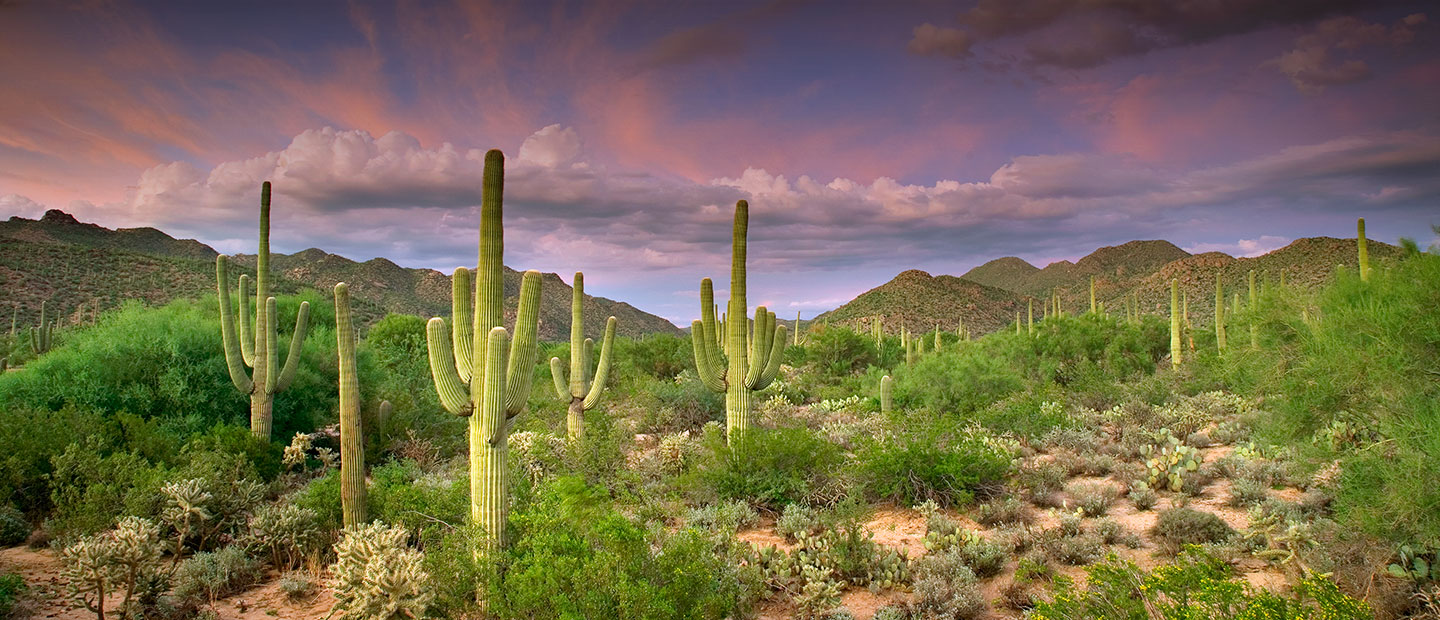 The fruited Sonoran desert is filled with various cacti